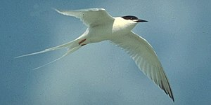Bird flight - A roseate tern uses its low wing loading and high aspect ratio to achieve low speed flight.