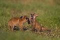 Rotfuchs Vulpes vulpes.jpg