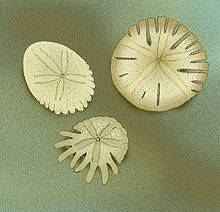 picture regarding Legend of the Sand Dollar Poem Printable titled Sand greenback - Wikipedia