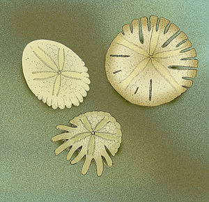 Sand dollar - Examples of Rotulidae