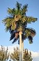 Roystonea regia (royal palms) (Sanibel Island, Florida, USA) 1 (25295366543).jpg