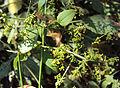 Rubia Cordifolia 08.JPG