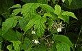 Rubus idaeus RF.jpg