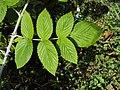 Rubus niveus (Mysore raspberry - Ceylon raspberry - hill raspberry) 02.JPG