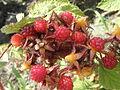 Rubus phoenicolasius R.H (27).JPG