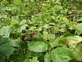 Rubus plicatus kz1.jpg