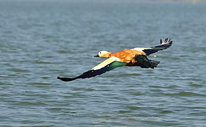 Ruddy shelduck - Ruddy Shelduck flying over the lake