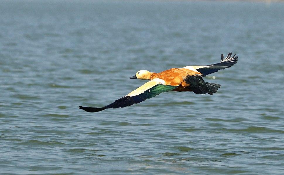 Ruddy Shelduck flying over the lake