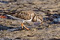 Ruddy turnstone shell creek shoals (23949688751).jpg