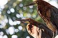 Rufescent Tiger-Heron - Pájaro Vaco (Tigrisoma lineatum lineatum) (15520034249).jpg