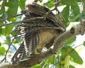 Rufous Owl (Ninox rufa) - Flickr - Lip Kee.jpg