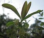 Ruhland, Grenzstr. 3, Kamtschatka-Heckenkirsche, Zweigspitze mit Blüten, Frühling, 03.jpg