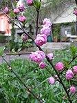 Ruhland, Grenzstr. 3, Mandelbäumchen, Zweig mit Blüten, Frühling, 01.jpg
