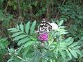Rusenski Lom butterfly.jpg