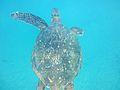 SEA TURTLE MAUI.jpg
