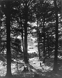 Black-and-white photograph of slender, tall birch trees