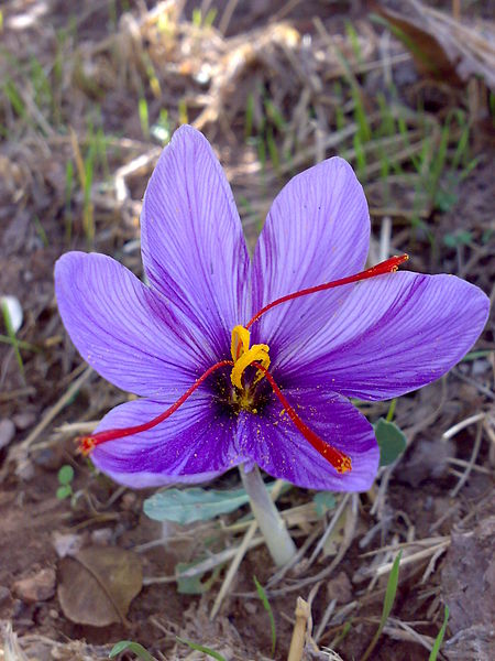File:Saffron7.jpg