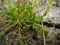Sagina procumbens plant (35).jpg