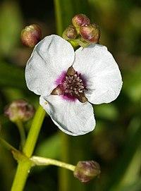 SagittariaSagittifoliaInflorescence2.jpg