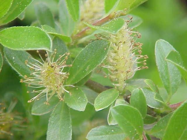 Salix formosa0