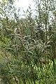 Salix myrtilloides kz06.jpg