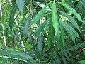 Salix nipponica 46476183.jpg