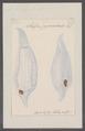 Salpa fusiformis - - Print - Iconographia Zoologica - Special Collections University of Amsterdam - UBAINV0274 092 08 0028.tif