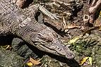 Saltwater crocodile (Crocodylus porosus), Gembira Loka Zoo, 2015-03-15 03.jpg