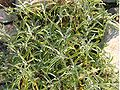 SalviaOfficinalis1.JPG