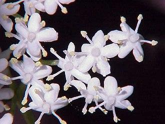 Sambucus - Flowers of European black elder