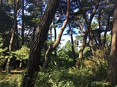 Samneung Pine Forest 1.jpg
