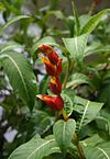 Sanchezia speciosa 1