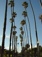 Washingtonia robusta trees line Ocean Avenue in Santa Monica, California.