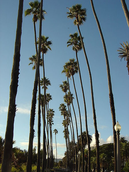File:Santa Monica Palm Trees.jpg