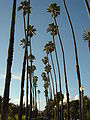 Santa Monica Palm Trees.jpg