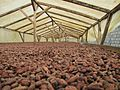 Sao Tome Monteforte Cocoa Beans Drying 3 (15629101423).jpg