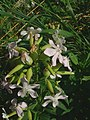 Saponaria officinalis1.jpg