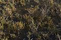 Sarcocornia fruticosa, Sète 02.jpg