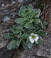 Saxifraga paniculata 2 RF.jpg