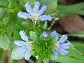 Scaevola crassifolia flower close up.jpg