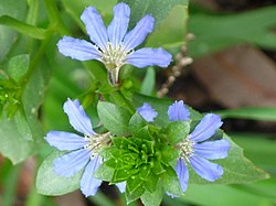 Scaevola crassifolia flower close up.jpg