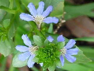 <i>Scaevola crassifolia</i> species of Goodeniaceae shrub