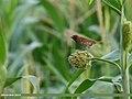 Scaly-breasted Munia (Lonchura punctulata) (31668512797).jpg