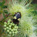 Scarab beetle on Albizia (8437428147).jpg
