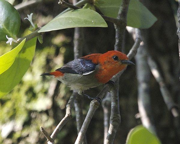 File:Scarlet-headed Flowerpecker (Dicaeum trochileum ...