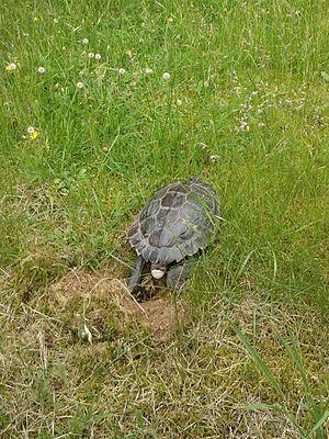 False map turtle - Image: Schildkröte Kl U 2012 002