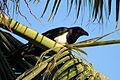 Schildraaf, Madagaskar 02.JPG