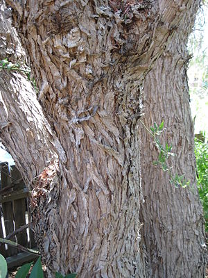 Schinus molle - Distinctive bark