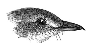 Broad-tailed grassbird - Head showing the short bill and the two rictal bristles