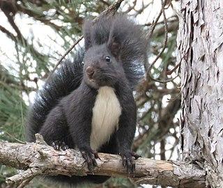 Calabrian black squirrel squirrel species